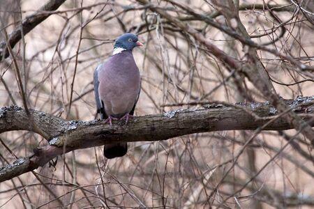 Common Wood Pigeon  Columba palumbus , Råstasjön, Solna, Sweden