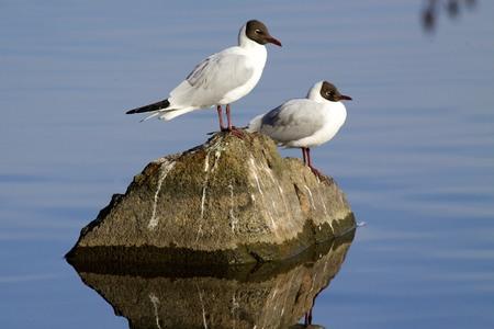 solna: Black-headed Gull   Chroicocephalus ridibundus, Solna Sweden
