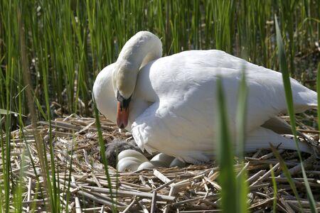 urban wildlife: Mute Swan  Cygnus olor  Solna, Sweden