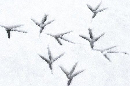 ardea cinerea: Footprints, Grey Heron, Ardea cinerea, Solna, Sweden