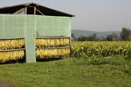 Tobacco plantation, Kwidzyn, Poland