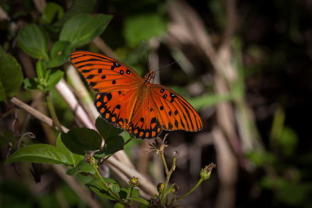 Gulf Fritillary, Everglades N P  Florida USA