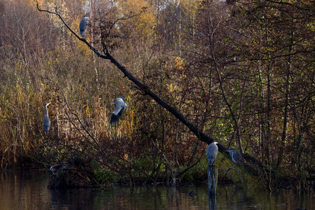 ardea cinerea: Grey Heron Dashing Forward   Ardea cinerea , Solna, Sweden  Stock Photo