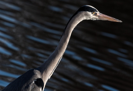 ardea cinerea: Grey Heron  Ardea cinerea , Solna, Sweden  Stock Photo