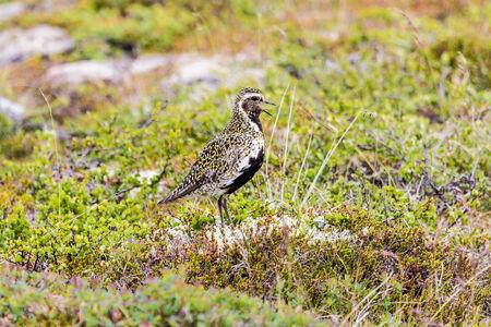 pluvialis: Eurasian Golden Plover  Pluvialis apricaria , Iceland