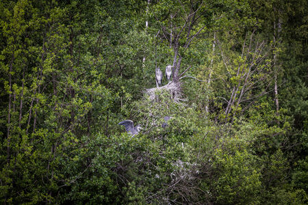 cinerea: Grey herons  Ardea cinerea  Stock Photo