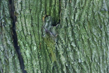familiaris: Treecreeper  Certhia familiaris , Solna, Sweden