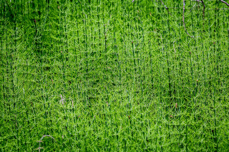 equisetum: Equisetum, horsetail, snake grass, puzzlegrass. A family of vascular plants that reproduce by spores rather than seeds. Stock Photo