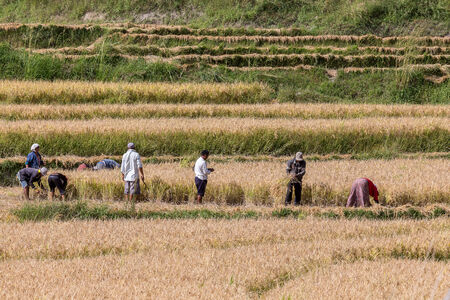 Rice being harvested, Punakha valley. Bhutan