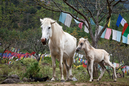 over burdened: Bhutan Horses, Tiger
