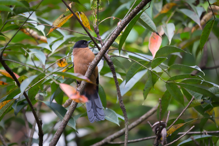 rufous: Rufous Sibia (Heterophasia capistrata)