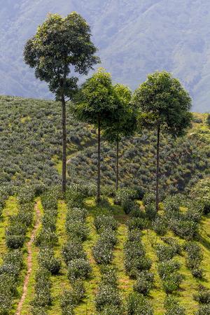 darjeeling: Tea plantation, Darjeeling, India. Stock Photo