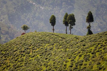 Tea plantation, Darjeeling, India. Stock Photo