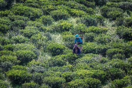 Tamil pickers collecting tea leaves on plantation, West Bengal. India photo