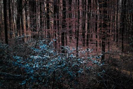 beech tree: Beech tree forest early winter, Baden-W?rttemberg, Germany.