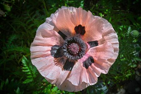 oriental poppy: Pink Oriental poppy, Close-up.