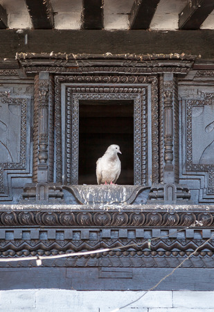 mustang: Pigeon in the Temple window in Muktinath, Mustang, Nepal.