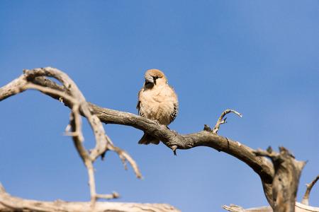 sociable: Socievole Weaver, Sossusvlei, Namibia. Archivio Fotografico