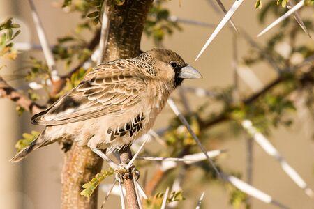 sociable: Sociable Weaver, Sossusvlei, Namibia.
