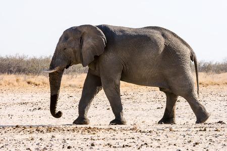 hoofed: African elephant Okaukuejo  Etosha National Park Namibia. Stock Photo