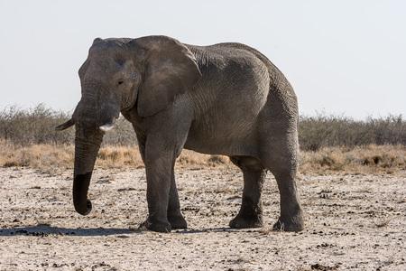 hoofed: African elephant, Okaukuejo , Etosha National Park, Namibia.