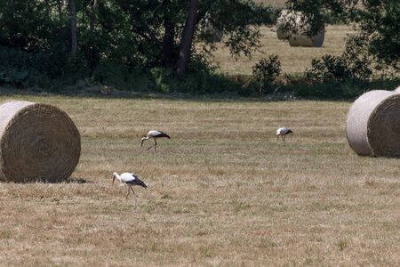 anima: White storks in the field