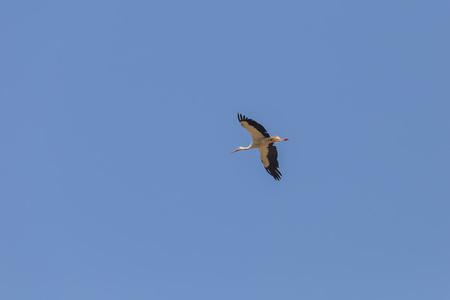 beine spreizen: Weißstorch im Flug Lizenzfreie Bilder