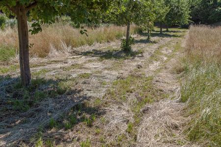 arbres fruitier: Les arbres fruitiers dans le champ de foin.