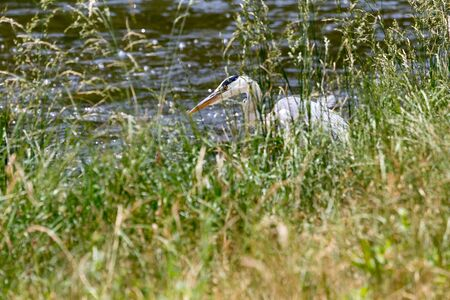 grey heron: Grey heron by the river Stock Photo