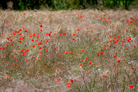 wild oats: Field with wild red poppies flowers