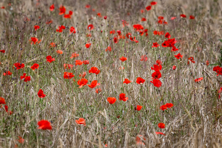Field with wild red poppies flowers