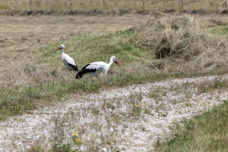 large bird: The white stork Ciconia ciconia is a large bird in the stork family Ciconiidae Stock Photo