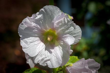 alcea: Hollyhock Alcea rosea 'Halo Blanca'
