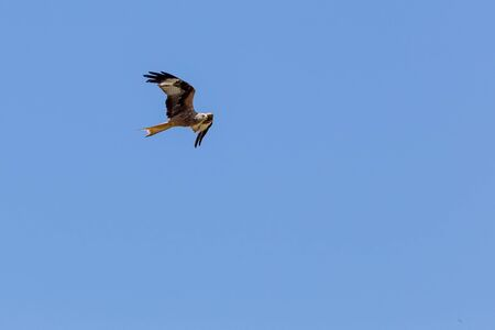 milvus: The red kite Milvus milvus Stock Photo