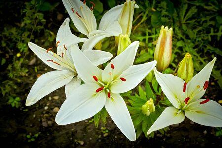 stargazer lily: Stargazer White Lily Stock Photo