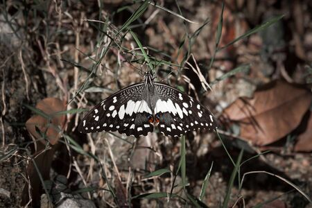 papilio demoleus: Papilio demoleus, is a common and widespread swallowtail butterfly. Malaysia