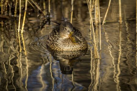out of doors: Northern Shoveller Anas clypeata