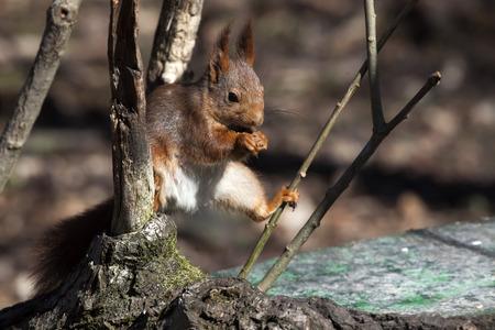 deciduous woodland: Red squirrel feeding, Solna, Sweden.