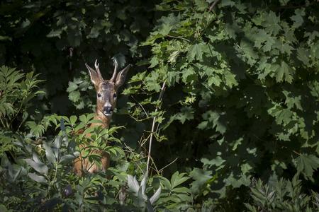 capreolus: Roe deer Capreolus capreolus, Rasta Park, Solna, Sweden. Stock Photo