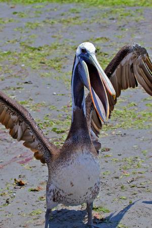 islas: Peruvian Pelican Pelecanus thagus Paracas, Islas Ballestas, Peru.