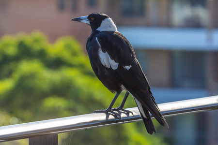 magpie: Australian Magpie Gymnorhina tibicen Stock Photo