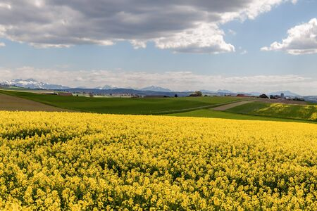 rapaseed: Dramatic clouds above field of Rapeseed and Alps. Switzerland