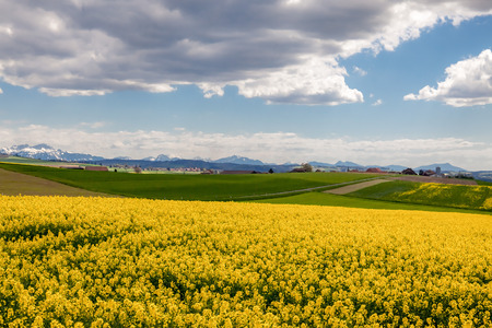 rappi: Dramatic clouds above field of Rapeseed and Alps. Switzerland