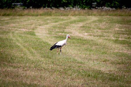 White Stork in Riehen, Switzerland. Stock Photo