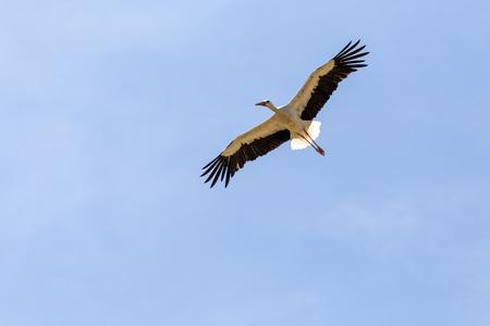 Flying White Stork in Riehen, Switzerland. Stock Photo