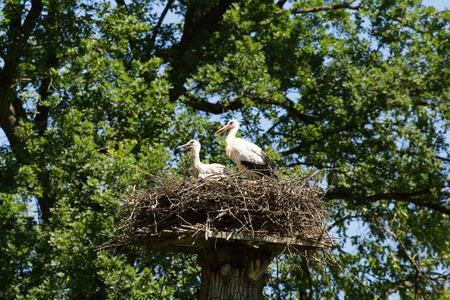 Stork with baby bird in the nest, Switzerland. Stock Photo