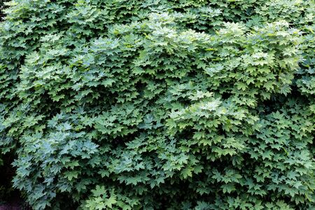 Large green maple tree canopy in summer.