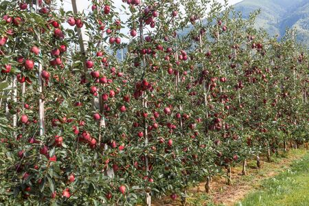 Apple orchard in the farm of Girlan in South Tyrol, Italy. Stock Photo