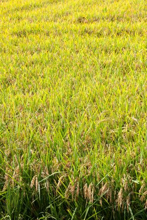 Risotto rice  grows outside Pavia in Lombardy, Italy. Stock Photo
