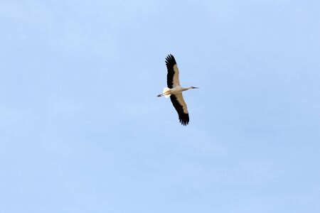 White Stork gliding on thermals.